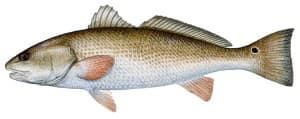 picure of redfish
