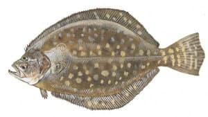 Picture of Flounder