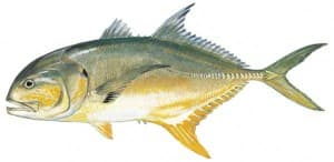 Picture of Jack Crevalle