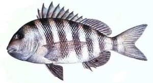 Sheepshead Picture