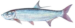 Picture of a Tarpon