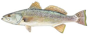 Picture of Sea Trout